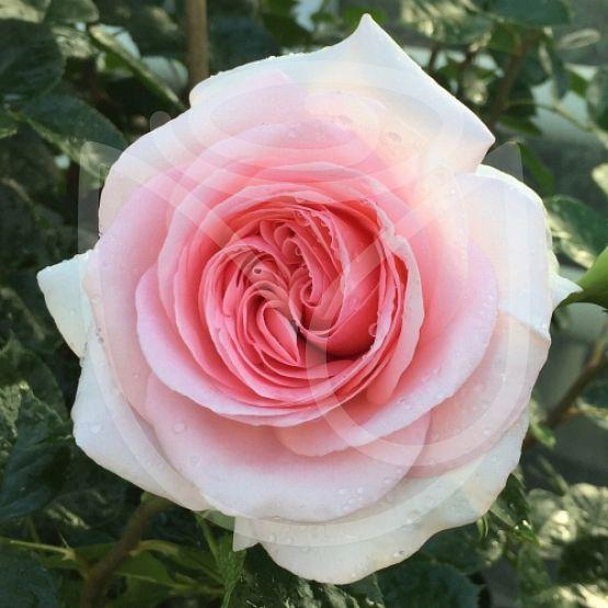 Rosier La Fontaine aux Perles®