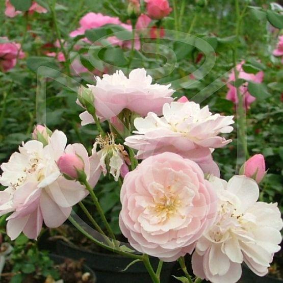 Rosier Rose Delacroix®
