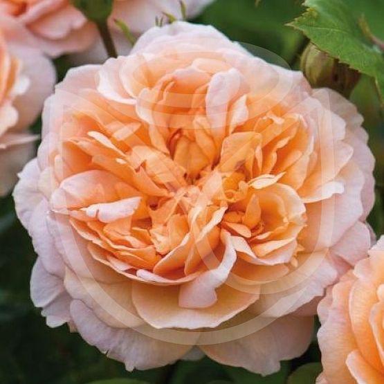 Rosier The Lady Gardener®