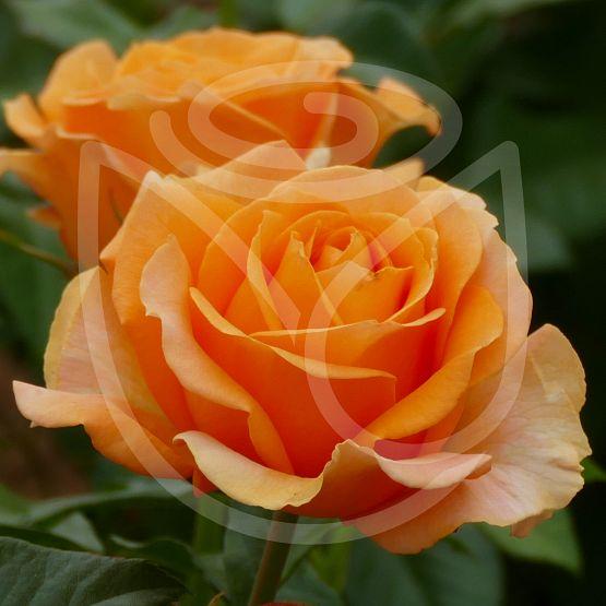 Rosier Disting'o Orange®