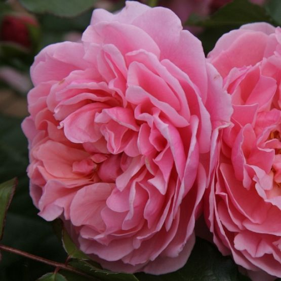 Rosier Rosemantic Pink®