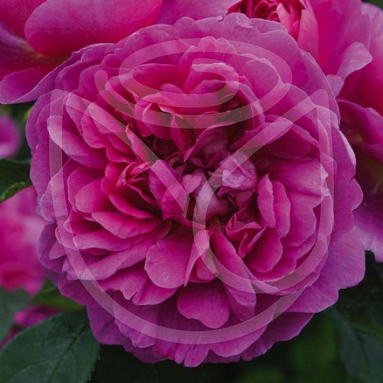Rosier Princess Anne®
