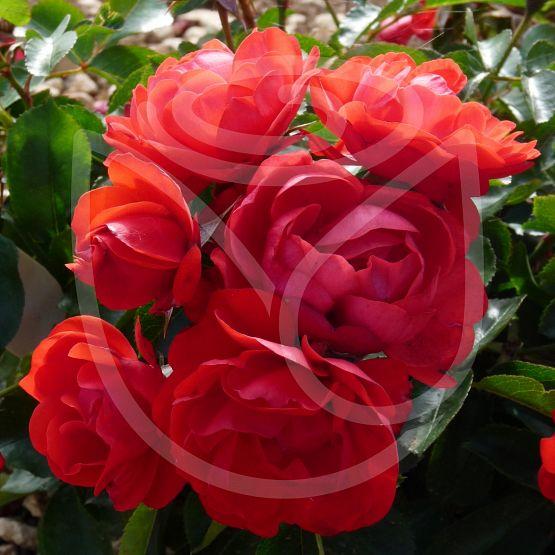 Rosier Red Maya®