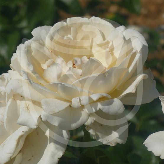 Rosier Prins Alexander®