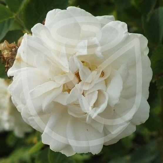 "Rosier Rosa alba 'Maxima"""