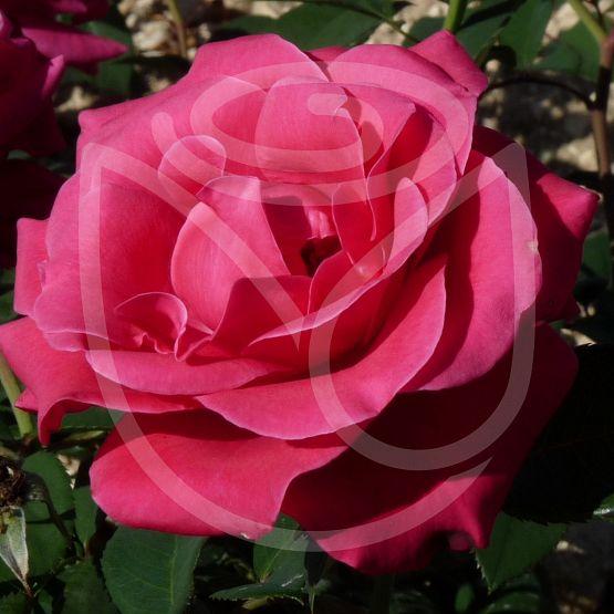 Rosier Crazy Pink Voluptia®