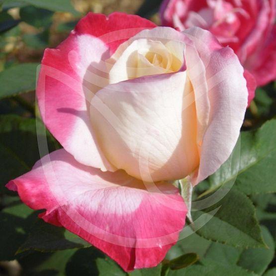 Rosier Parfum tropical®