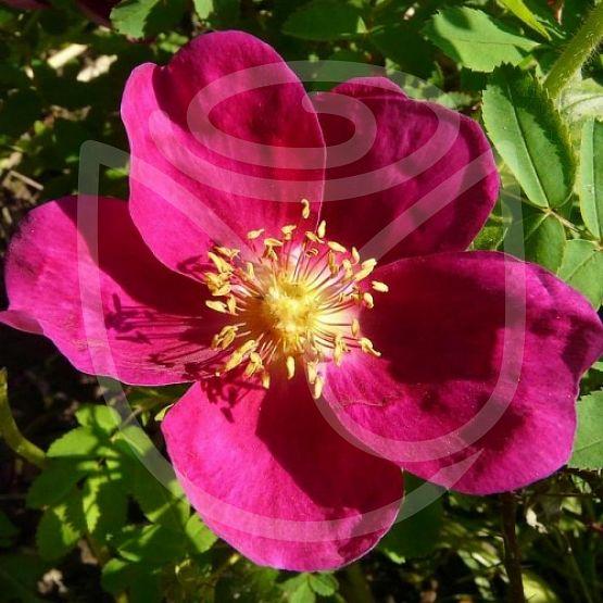 Rosier Rosa Pimpinellifolia Rubra