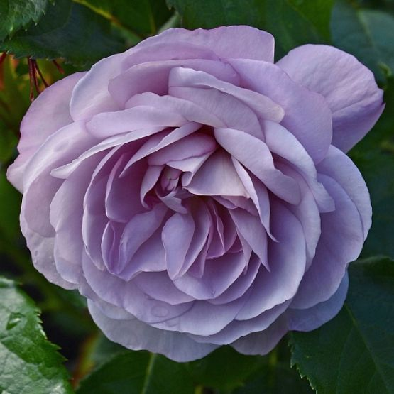 Rosier Lady Perfume®