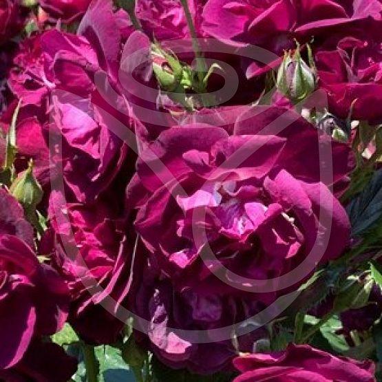 Rosier Purple Breeze®