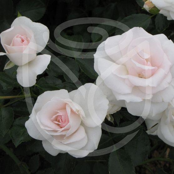 Rosier Aspirin Rose®