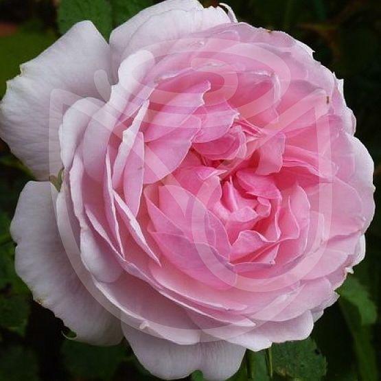 Rosier Lady Salisbury®