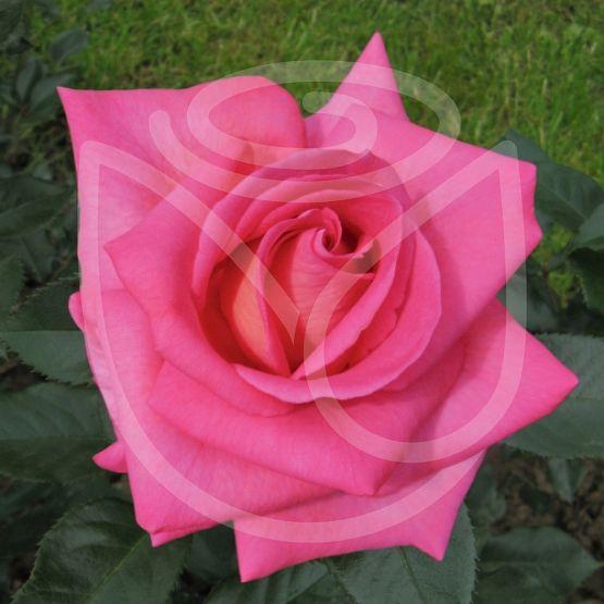 Rosier Parfum Royal Clg®