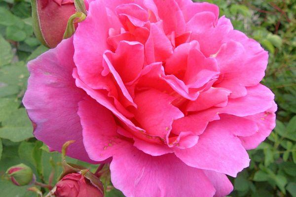 les roses anciennes et anglaises ven 26 et sam 27 mai 17 p pini res dima les rosiers. Black Bedroom Furniture Sets. Home Design Ideas