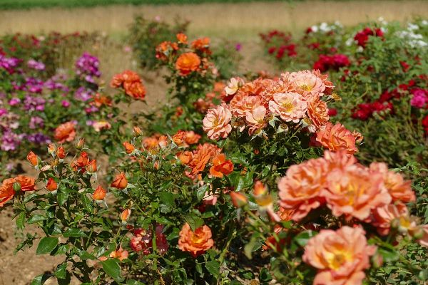 Septembre en Roses