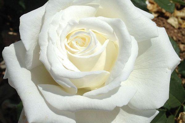 Notre spécialité: les rosiers résistants au calcaire